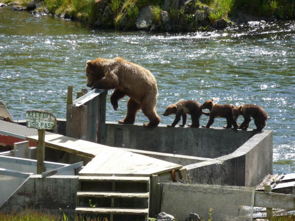 Grizzly bear with three cubs on a dam in Alaska, photo by Steven Greif's wife.